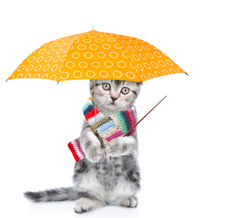 Sad kitten wearing a warm scarf, holds umbrella and pointing away on empty space. isolated on white background. 版權商用圖片