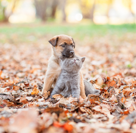 mixed breed puppy hugging a sad kitten on autumn leaves.