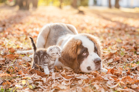 St. Bernard puppy and kitten are together on the autumn foliage.