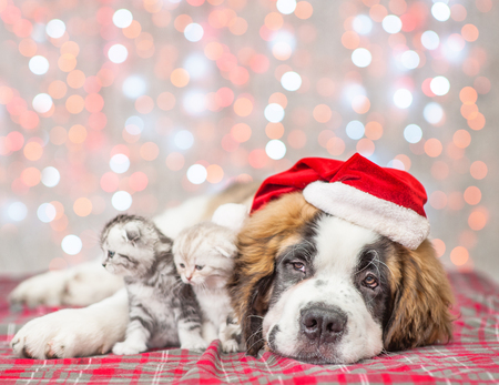 Big saint Bernard puppy in Christmas hat with wo tabby kittens together. Фото со стока
