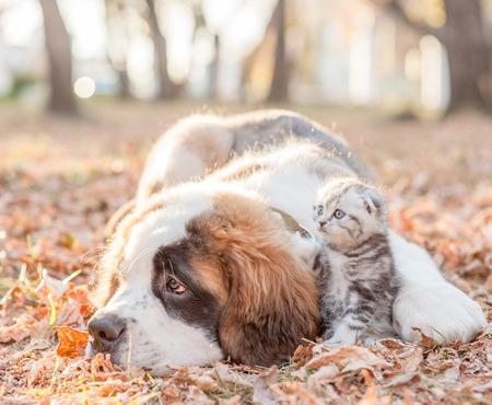 Unhappy Saint Bernard puppy embracing tiny tabby kitten on autumn leaves.