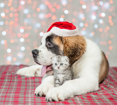 Saint Bernard puppy in Christmas hat hugs a kitten.