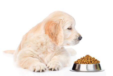 Golden retriever puppy sniffing dry dog food. isolated on white background. Zdjęcie Seryjne