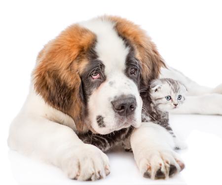 Saint Bernard puppy hugging kitten. isolated on white background. Stock Photo
