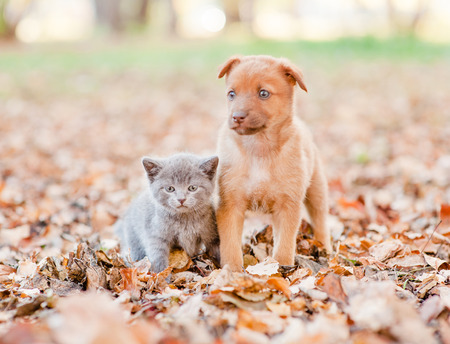 mongrel puppy and tiny kitten sitting together on autumn leaves.