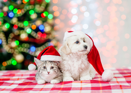 bichon frise puppy and kitten in red santa hats with  Christmas tree on a background.