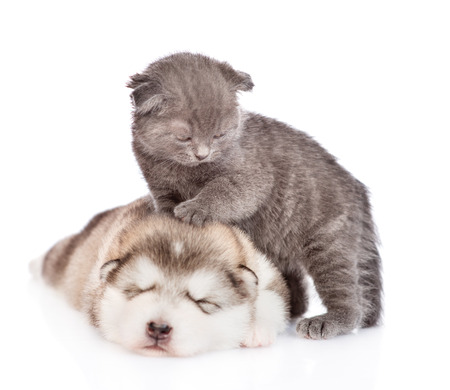 Tiny kitten standing on sleepy puppy. isolated on white background.