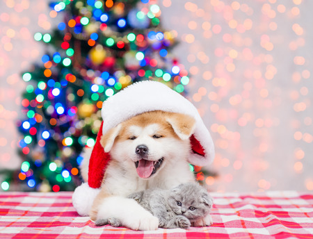 Akita inu puppy in red santa hat hugging tiny kitten with  Christmas tree on a background.