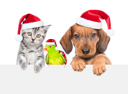 Group of pets - cat,dog and parrot in red christmas hats together over white banner. isolated on white background.