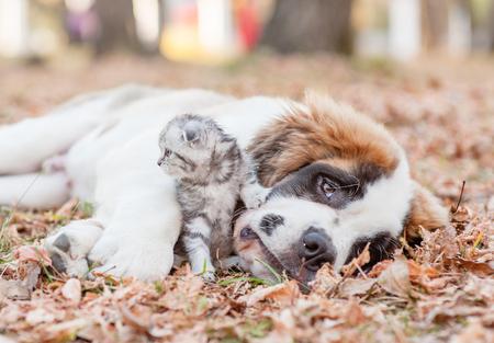 Sad Saint Bernard puppy embracing a kitten on autumn leaves. Stock Photo