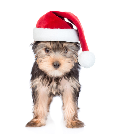 Yorkshire Terrier puppy in red christmas hat standing in front view. isolated on white background.