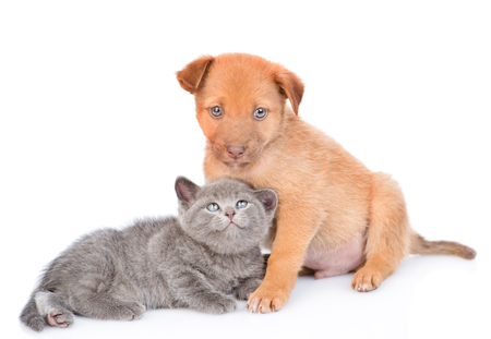 Mixed breed puppy with kitten. isolated on white background.