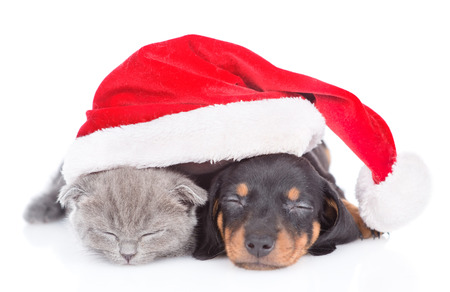 Puppy and kitten are sleeping together in red christmas hat.  isolated on white background.