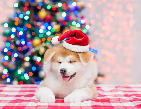 Akita inu puppy lying in red sata hat with  Christmas tree on a background.