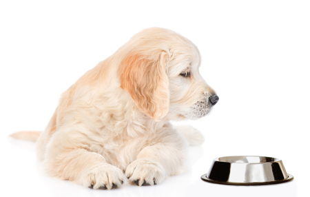 Golden retriever puppy looking at empty bowl. isolated on white background. Stock Photo
