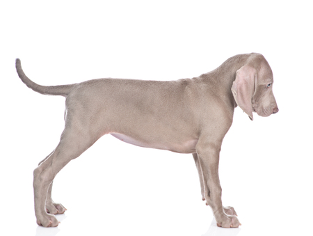 Weimaraner puppy standing in side view. isolated on white background. Banque d'images - 115533667