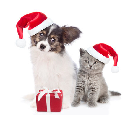 Papillon puppy and kitten in red christmas hats sitting together with gift box. isolated on white background. 免版税图像