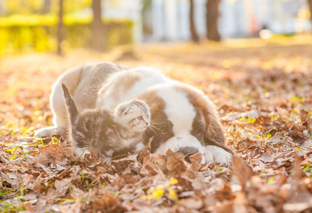 St. Bernard puppy and kitten are together on the autumn foliage at sunset.
