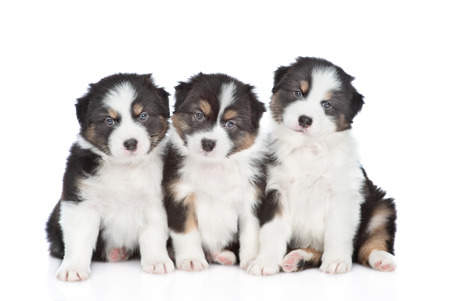 Group of a Australian Shepherd puppies looking at camera.  Isolated on white background.