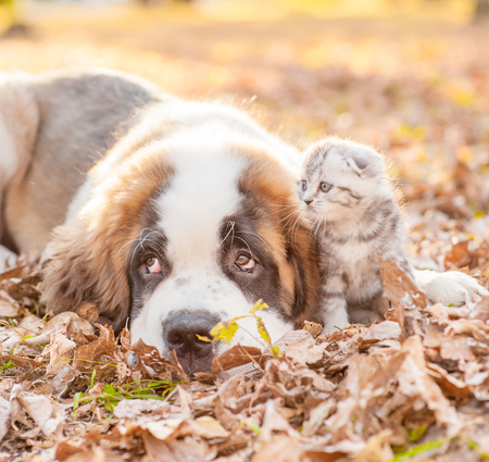 Close up portrait of a Saint Bernard puppy with kitten in autumn park.