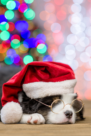 Australian shepherd puppy with red santa and eyeglasses sleep with Christmas tree on background. Stock Photo