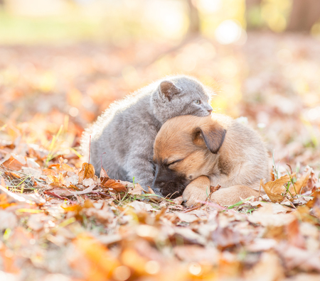Tiny kitten and mongrel puppy sleep together on autumn leaves at sunset.