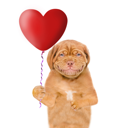 Smiling puppy holding a heart shaped balloon. isolated on white background.