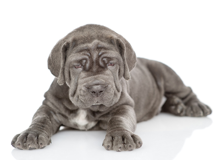 Neapolitan mastiff puppy lying and looking at camera. isolated on white background.