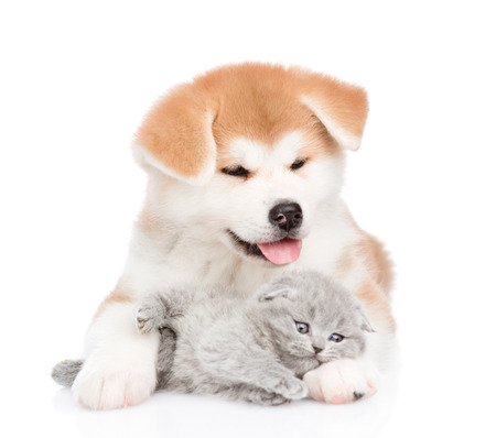 Akita inu puppy embracing sleepy kitten. isolated on white background.