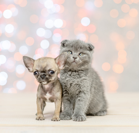 Chihuahua puppy with gray kitten on festive holidays background. Stock Photo