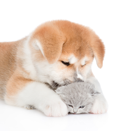 Close up Akita inu puppy licking baby kitten. isolated on white background.