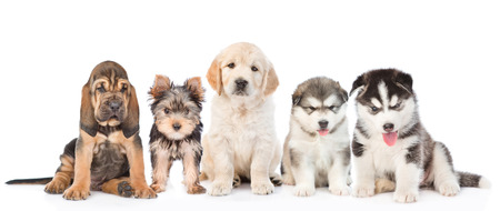 large group of  dogs sitting in front view. isolated on white background.. Standard-Bild