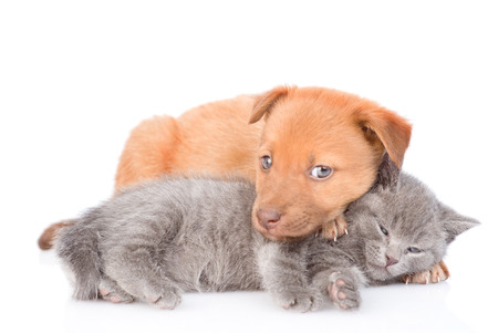 Crossbreed puppy lying with kitten. Isolated on white background. Stock Photo