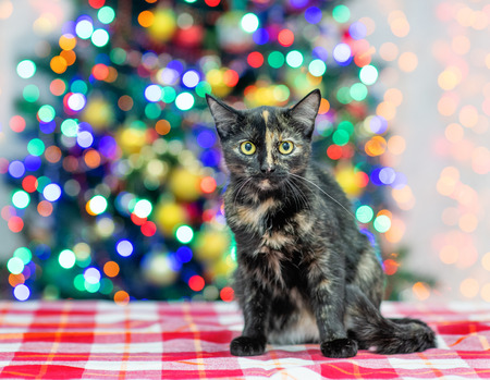 Mixed breed cat sitting with Christmas tree on background. Empty space for text.