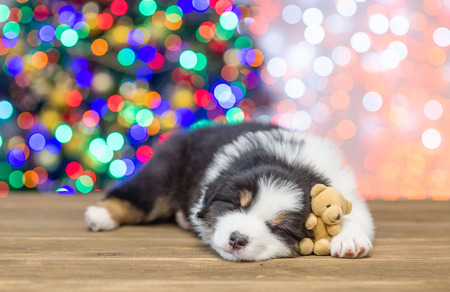 Australian shepherd puppy sleeping with toy bear with Christmas tree on background. Empty space for text. Stock Photo