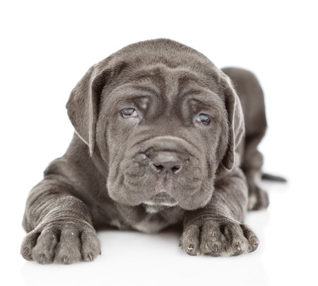 neapolitan mastiff puppy lying in front view. isolated on white background.