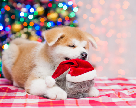 Akita inu puppy hugging tiny kitten in red santa hat with  Christmas tree on a background.
