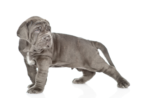 Mastiff puppy lying in side view. isolated on white background. Stock Photo