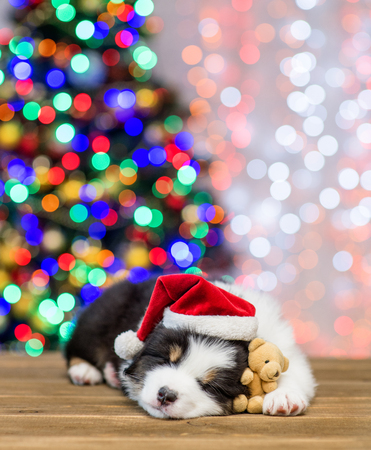 Australian shepherd puppy in red santa hat sleeping with toy bear with Christmas tree on background. Empty space for text.