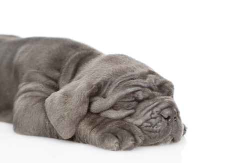 Close up sleeping mastiff puppy lying in side view. isolated on white background.