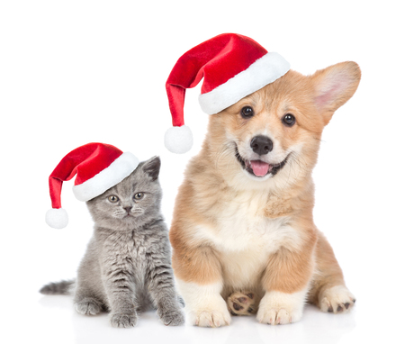Pembroke Welsh Corgi puppy and kitten in red christmas hats. isolated on white background. Stockfoto