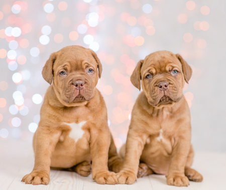 Two puppies mastiff sitting together. Christmas holidays background.
