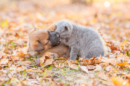 Playful crossbreed puppy bitting kitten on autumn leaves at sunset.