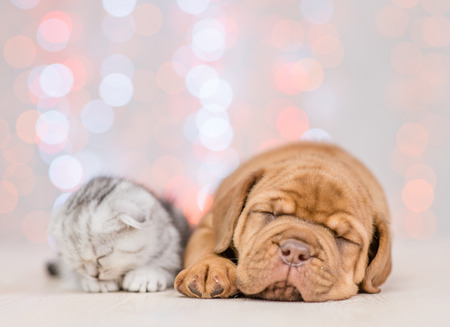 Neapolitano mastino puppy and baby kitten sleeping together on festive background.