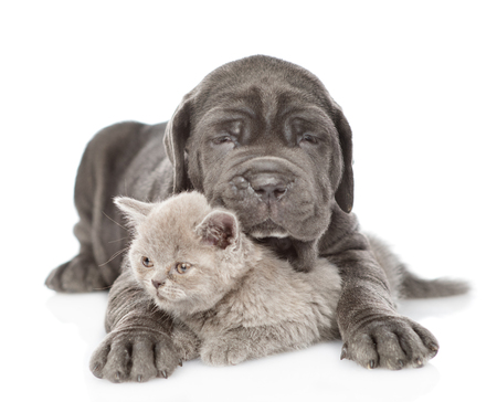 Black mastiff puppy hugging kitten. isolated on white background.