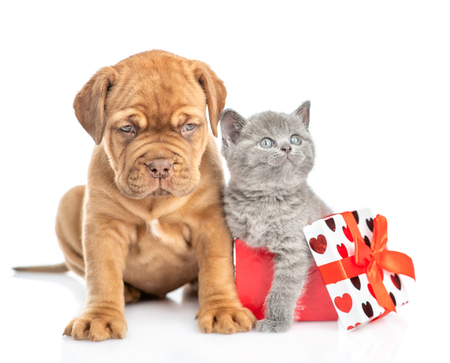 Mastiff puppy with kitten inside gift box. isolated on white background.