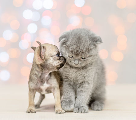 Chihuahua puppy kissing gray kitten on festive holidays background.