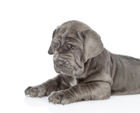 Neapolitana mastino puppy lying in side view. isolated on white background.