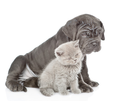 Neapolitan mastiff puppy and gray kitten sitting in profile. isolated on white background. 版權商用圖片