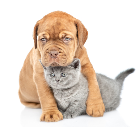 Cute mastiff puppy embracing kitten. isolated on white background.